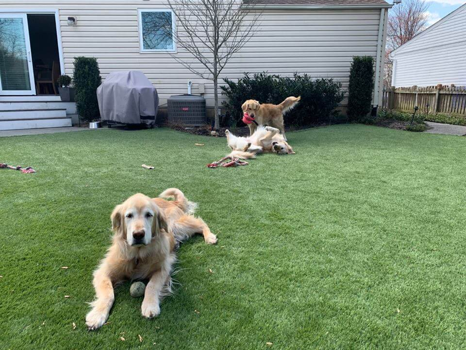 Dog grass installation in DC, golden retrievers.